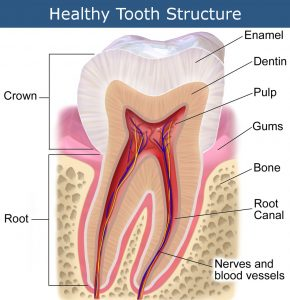 Healthy Tooth Structure